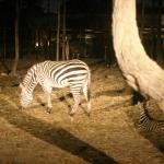 Singapore Zoo and Night Safari | Asiatravelbug's Wildlife Adventure