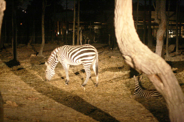 Night Safari Zebra