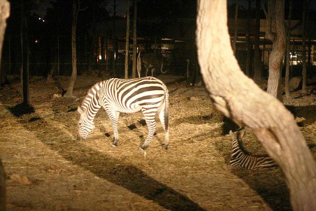 Night Safari Zebra