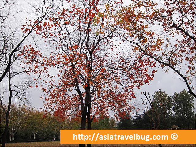 Maple Tree at Fuxing Park