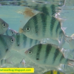 Shangri-la Mactan Resort – Fish Feeding by the Beach Shore