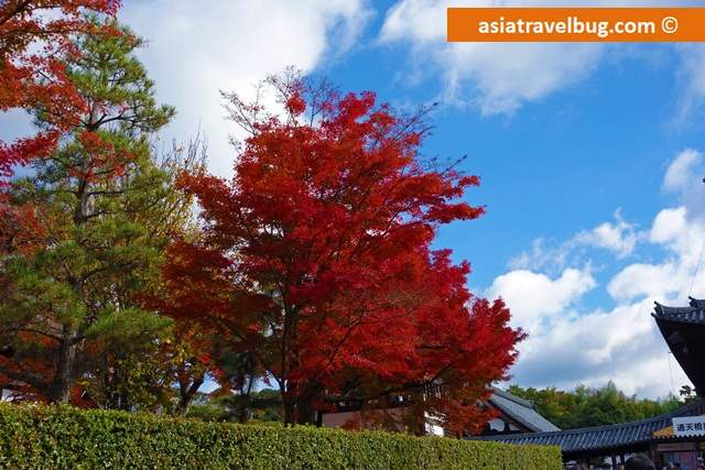 Fiery Red Tree in Tofokuji Area