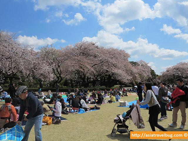 tokyo itinerary | shinjuku gyoen park cherry blossoms